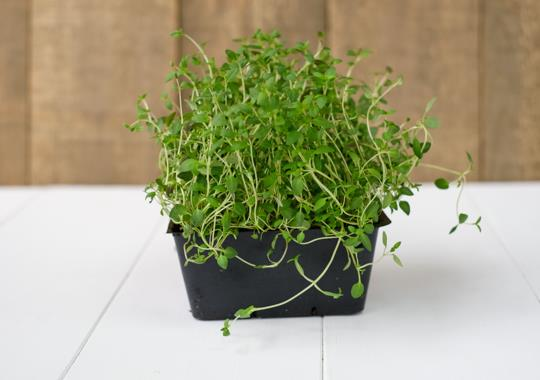 Herb (Thyme, Living)